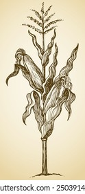 Corn plant stalk, wavy leaves, ripe ears and blossom seeds on top. Vector monochrome freehand drawn background sketching in style of antiquity pen on paper with space for text