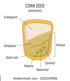 Corn Seed Structure. Anatomy of grain. Monocot seed diagram.