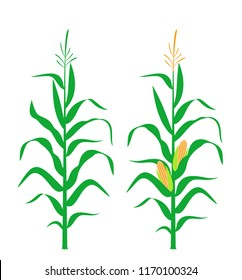 Corn stalk. Isolated corn on white background. EPS 10. Vector illustration