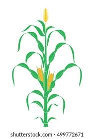 Corn stalk. Isolated corn on white background. EPS 10. Vector illustration