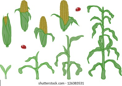 Corn in Various states of Growth