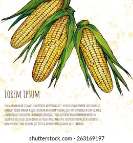 Corn vector illustration; hand drawn corn on white background