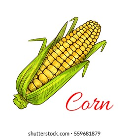 Corn vegetable . Vector corn cob with leaves. Vegetarian and vegan cuisine vegetable and agriculture ripe harvest. Sweet corn cob maize object for grocery store, farmer market design