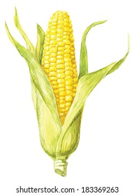 Corncob with leaf. Hand drawn watercolor painting on white background, vector illustration.