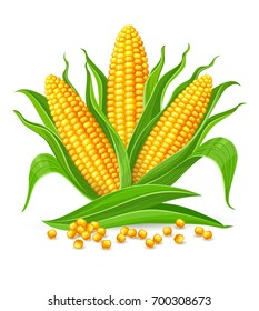 Corncobs with yellow corns and green leaves group, white background. Ripe corn vegetables isolated, Eps10 vector illustration.