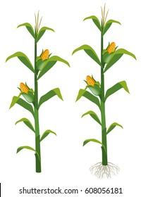 Corns on the corn trees illustration