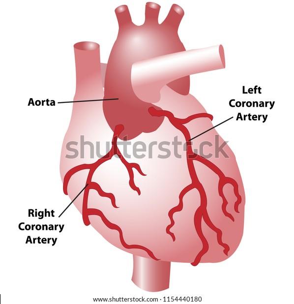 Coronary Arteries Heart Anterior View Including Stock Vector