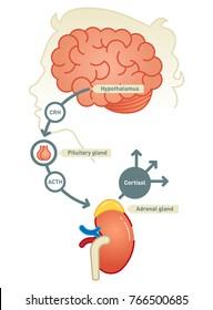 Cortisol diagram vector illustration