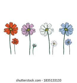 cosmea flowers by drawing vector illustration and clipart.