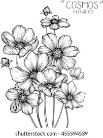 cosmos flowers  clip art  or illustration.