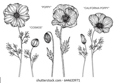 Cosmos, Poppy, California poppy flowers drawing and sketch with line-art on white backgrounds.