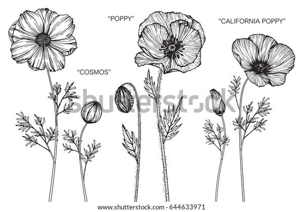 Cosmos Poppy California Mohn Blumen Zeichnung Stock Vektorgrafik Lizenzfrei 644633971