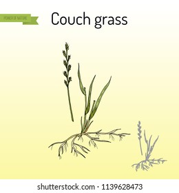 Couch grass, elymus repens, or twitch, medicinal plant. Hand drawn botanical vector illustration