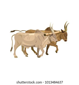 A couple of harnessed bulls zebu. Vector illustration isolated on white background