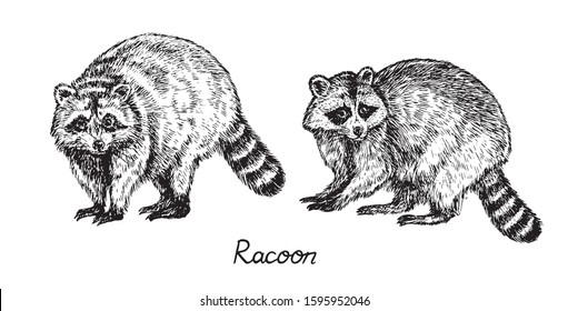 Couple racoons standing side view, with inscription, hand drawn doodle drawing, sketch in gravure, style, vector illustration