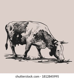 Cow cow with bell grazing in the meadow. Hand drawn in a graphic style. Vintage vector engraving illustration for poster, web, packaging, branding, flyer, print. Isolated on gray background