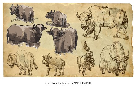 COW, BISON, YAK (Bovidae family). Collection of an hand drawn illustrations (originals, no tracing). Drawings are editable in layers and groups. The color layers are separated.