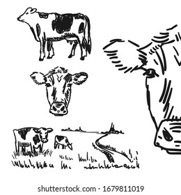 Cow. Black and white sketch of a friesian cow's face. Vector portrait.