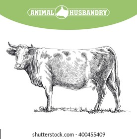 cow. grazing cattle