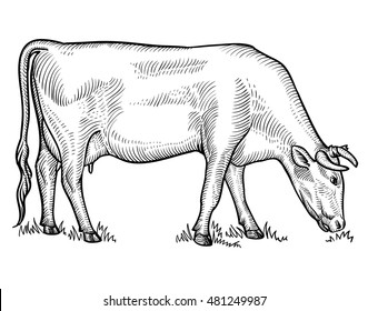 Cow grazing on meadow. Cow in graphical style. Hand drawn vector illustration.