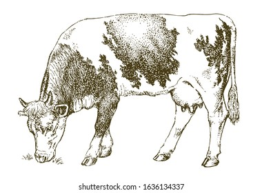 Cow grazing on meadow. Hand drawn illustration.