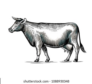 Cow hand drawn in elegant vintage engraving or etching style. Domestic animal isolated on white background. Farm cattle or livestock. Monochrome vector illustration for milk or dairy product logotype
