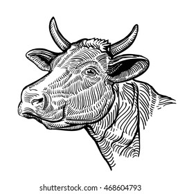 Cow head, in a graphic style. Vintage vector illustration isolated on white background. snout cow