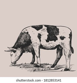 Cow in the meadow. Hand drawn in a graphic style. Vintage vector engraving illustration for poster, web, packaging, branding, flyer, print. Isolated on gray background