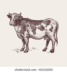 Cow. Series of farm animals. Graphics, hand drawing. Sketch. Vintage engraving style. Design for packaging agricultural products, signage, advertising farm products shops
