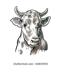 Cows head. Hand drawn in a graphic style. Vintage vector engraving illustration for  poster, web. Isolated on white background