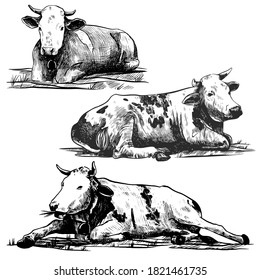 Cows set hand drawn in a graphic style. Vintage vector engraving illustration for poster, web, packaging, branding, flyer, print. Isolated on white background