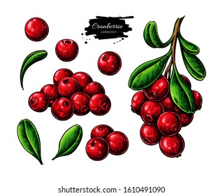 Cranberry vector drawing. Isolated berry branch sketch on white background. Summer fruit illustration. Detailed hand drawn vegetarian food. Great for label, poster, print