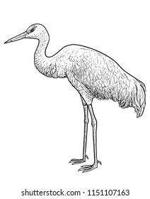Crane bird illustration, drawing, engraving, ink, line art, vector
