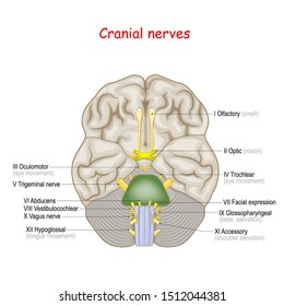 Cranial nerves. human brain and brainstem from below. many nerves exit the skull. numbered from olfactory to hypoglossal after the order in which they emerge. Vector illustration