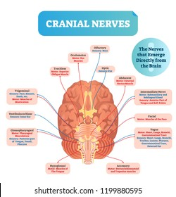 Cranial nerves vector illustration. Labeled diagram with brain sections and its functions with senses. Regions with olfactory, optic, abducent, facial and vagus parts.