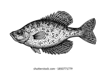 Crappie. Freshwater fish. Ink sketch isolated on white background. Hand drawn vector illustration. Retro style.