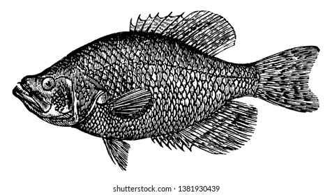 Crappie is a sunfish, vintage line drawing or engraving illustration.