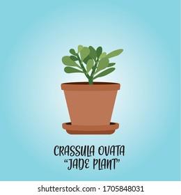 Crassula ovata plant (jade plant)