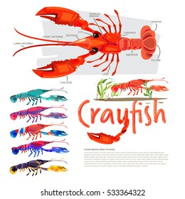 Crayfish with information. infographic style. separate color with typographic design crawfish, crawdads, freshwater small lobsters - vector illustration