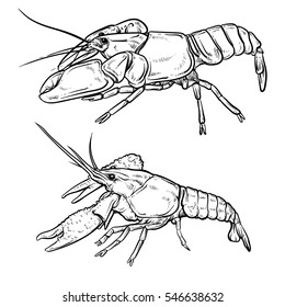Crayfish isolated on white background. Shrimp drawing. Hand drawn seafood illustration. Prawn.