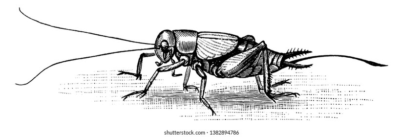 Cricket of the family Gryllidae, vintage line drawing or engraving illustration.