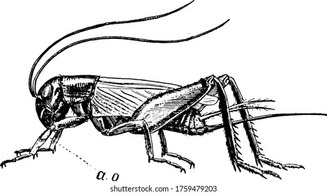 Crickets are insects distantly related to grasshoppers in the family Gryllidae., vintage line drawing or engraving illustration.