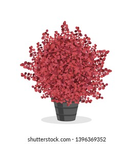 Crimson barberry bush trimmed into a ball shape. Beautiful accent plant. Decorative shrub growing in the flower pot. Garden illustration. Growing shrubs in a container. Isolated on white.