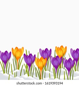 Crocus flowers, Snowdrop blossom. First Spring flowers. Growing grass leaves and saffron. Snowy garden. Floral background. Vector illustration.