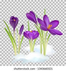 90c865e42e8a Crocuses. Crocus. Beautiful bright realistic flowers of bright purple color  on a background.