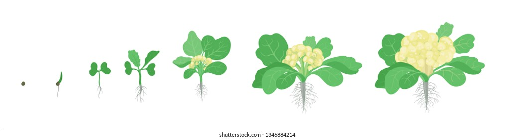 Crop stages of Cauliflower cabbage. Growing Cauliflower plants. Harvest growth vegetable. Brassica oleracea vector flat Illustration.