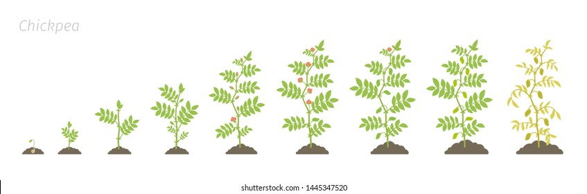 Crop stages of Chickpea. Growing animation chick pea plant. Known as gram or Bengal gram, garbanzo or garbanzo bean, and Egyptian pea. Vector flat Illustration.