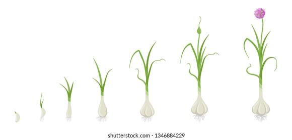 Crop stages of Garlic. Growing Garlic plant. Harvest growth vegetable. Allium sativum. Vector flat Illustration.