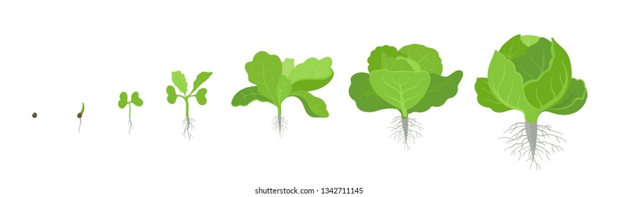 Crop stages of headed cabbage. Growing cabbage plants. Organic life cycle. Harvest growth biology. Brassica oleracea vector flat Illustration.