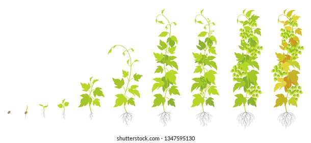 Crop stages of hop plant. Growing hop cones. Planting lupulus humulus. Vector flat Illustration. Main flavor ingredient in beer.